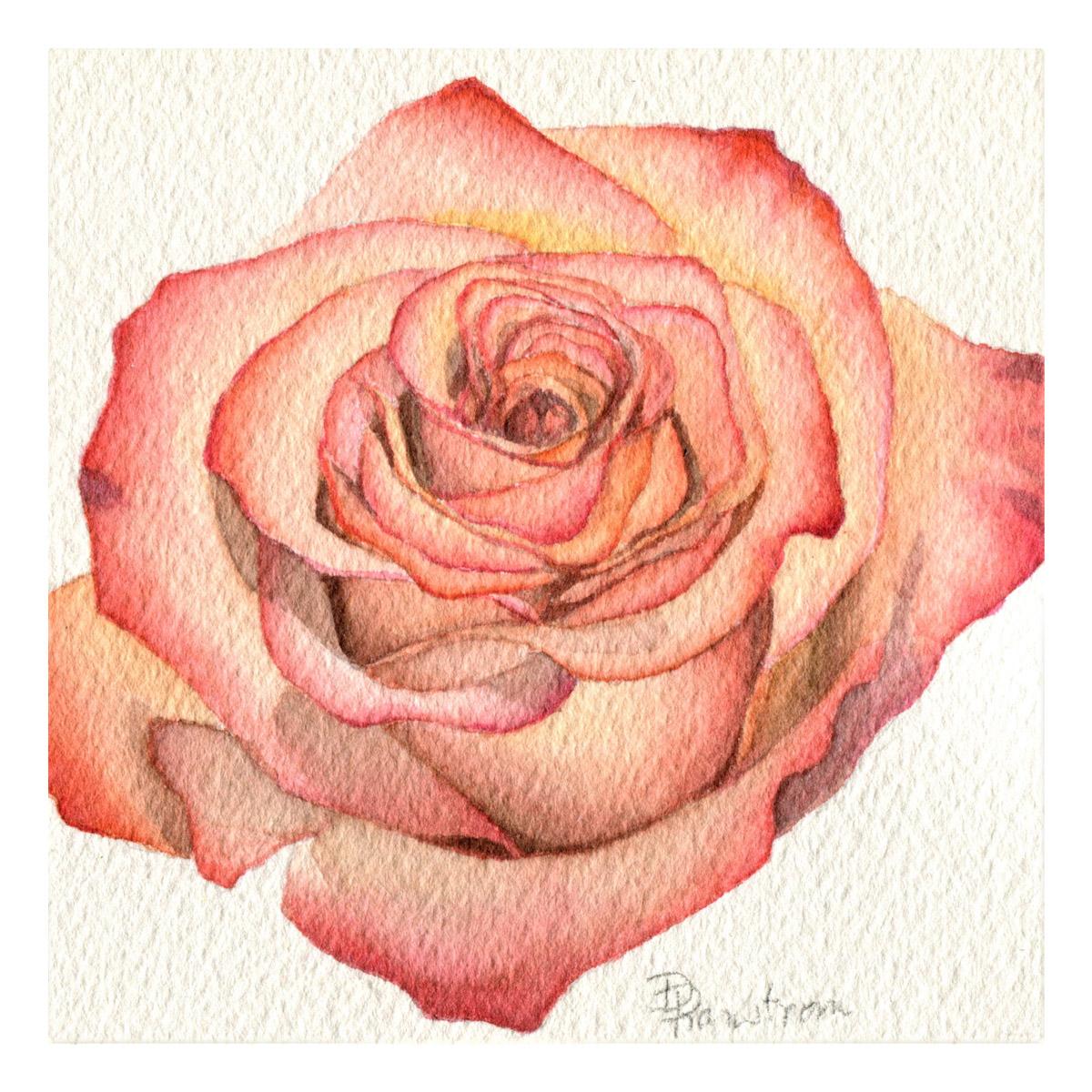 Peach rose watercolor