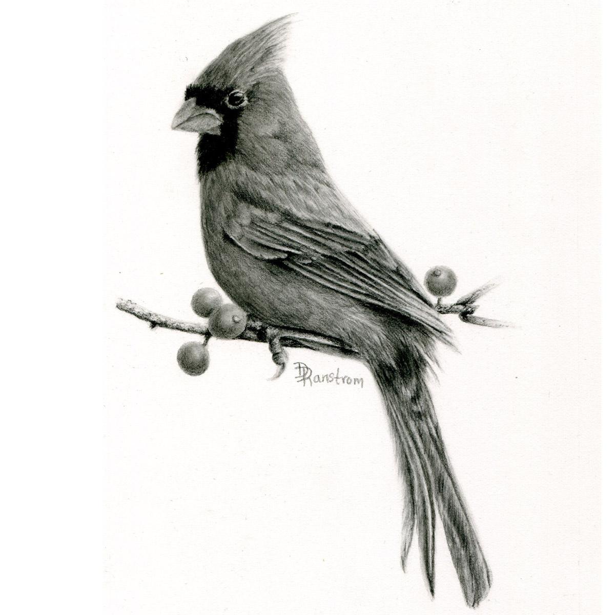 Northern cardinal drawing