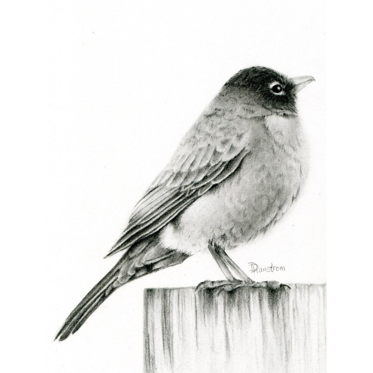 Robin charcoal drawing